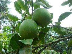 Pomelo Tree Care: Pummelo Tree Growing Information - Pomelo, or Pummelo, may be referred to as either or even its alternate vernacular name 'Shaddock.' So what is a pummelo or pomelo? Let's find out about growing a pummelo tree in this article.