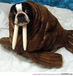 Seriously, I'm A Walrus