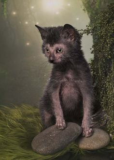 Pharrell the Lykoi by Brittney Gobble Pretty Cats, Beautiful Cats, Cute Funny Animals, Cute Cats, Hairless Animals, Lykoi Cat, Werewolf Cat, Kitten Care, Pet Breeds