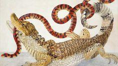 Illustration de un caimán con una falsa serpiente de coral de Sudamérica, obra de Maria Sybilla.
