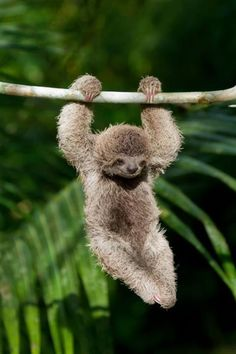 Baby sloth. Ridiculously cute! And so amazingly unusual it looks like a creature a special effects studio invented!