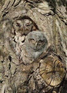 The Eastern Screech Owl or Eastern Screech-Owl (Megascops asio) is a small owl that is relatively common in Eastern North America, from Mexico to Canada. They are strictly nocturnal, roosting during the day in cavities or next to tree trunks. They are quite common, and can often be found in …