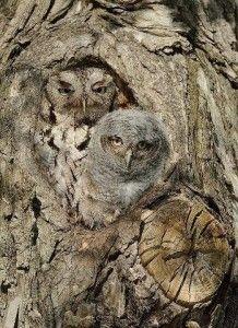 Chouettes en tenue de camouflage / Eastern Screech Owls / by Joe Iocco, Beautiful Owl, Animals Beautiful, Cute Animals, Beautiful Pictures, Baby Animals, Owl Bird, Pet Birds, Photo Animaliere, Screech Owl
