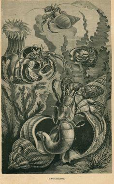 1883 Marine Life Antique Print Victorian Era by CarambasVintage, $16.00