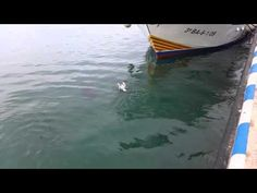 Winning Racing Tips: Tuna Vs Seagull (Who Wins? Surfboard, Fun Facts, Videos, Swallow, Pigs, Funny Stuff, Racing, Sport, Youtube