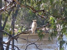A Sulphur Crested Cockatoo looks out over the River Murray SA