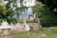 Our cygnets are growing up so quickly!