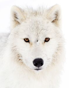 White wolf or arctic wolf, a mammal of the Canidae family and a subspecies of the gray wolf by Jim Cumming Wolf Photos, Wolf Pictures, Animal Pictures, Beautiful Creatures, Animals Beautiful, Cute Animals, Polar Animals, Unique Animals, Wild Animals