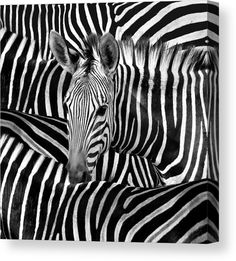 Zebra Canvas: Black and white image, closeup portrait of a burchell zebra. Square format art. Available in various sizes. Click through to see the options. Diana van Tankeren - Art for your Home Decor and Interior Design needs Zebra Painting, Zebra Art, Stretched Canvas Prints, Canvas Art Prints, Framed Prints, Zebra Kunst, Zebra Print Walls, Diana, Black And White Canvas