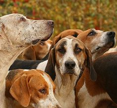 English Foxhound, gets along well with other dogs. #DogBreeds