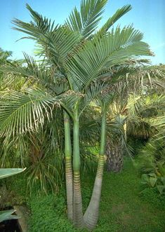 Palm Tree Varieties Common and Latin Names