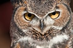 https://flic.kr/p/bvYx5f | Portrait of an owl | Rescued Great Horned Owl Taken at Placerita Canyon Nature Center This owl was a rescued bird with wing damage and cannot be released)
