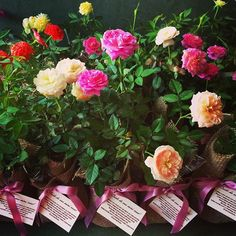 Ontem foi casamento da #hannaeotavio , e assim ficaram as lindas mini rosas que eles distribuíram! Coisa mais romântica!! #lejardin #lepetitvert #lembrancinha #lembrancinhas #lembrancinhaecochic #lembrancinhadecasamento #lembrancinhaecologica #lembrancinhacommudinha #mudinhas #muitoamor #roseira #rosinhas