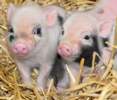 CUTE PIGS   animal, blue eye, cute, pig, piggies - image #182828 on Favim.com