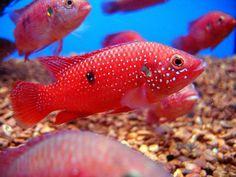 Hemichromis lifalili. (Red Jewel Cichlid)