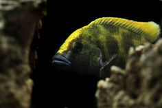 Malawi Cichlids, African Cichlids, Aquarium, Aquascaping, Sharks, New Baby Products, Scale, Creatures, Fish