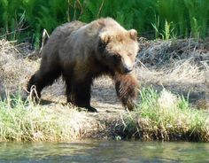 A young brown bear patrols the Russian River in June 2013 amid a crowd of anglers, scavenging red salmon carcasses. Lee Leschper captured this photo.