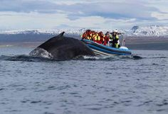 """Sailing with Gentle Giants - Whale-watching in speedboats! Yes! Amma Sigga from Húsavík are clearly a different and exciting alternative for spying on the World's largest animals. Amma Sigga, sometimes called """"Blue Thunder,"""" zip about the Skjálfandaflóa during summer offering guests an incomparable experience to get up close and personal. Location: Húsavík (harbor) Tel: +354 464 1500 / gentlegiants.is"""