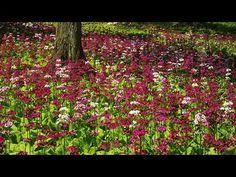 クリンソウの群生(飛騨高山、宇津江四十八滝) Japanese primrose in Takayama