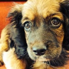 Save Cricket! - Cricket is a 3 month old cocker/doxie mix that was turned into the   shelter after being hit by a car several days ago. When we heard about   this poor pup, we rushed to the shelter to get him. After being looked   at by Bakersfield Vet Hospital we ...