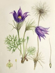 Pulsatilla vulgaris, pasque flower limited edition signed print