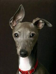 Whippet - my whippet-mix has ears that do the same funny lean!  I thought it was just her.  FIY we need to find a new home for her if anyone is interested.