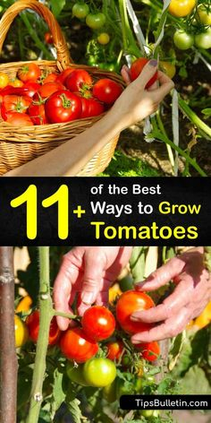 Discover how to grow tomatoes in a garden or patio to enjoy beefsteak or cherry tomatoes at the end of the growing season. Many indeterminate and determinate tomato varieties are easy to grow, but they all require full sun to thrive. #growing #tomatoes #howto Growing Cherry Tomatoes, Tips For Growing Tomatoes, Growing Tomato Plants, Tomato Seedlings, Growing Tomatoes In Containers, Grow Tomatoes, Tomato Seeds, Growing Vegetables, How To Grow Cherries