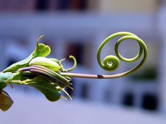 Looks like this might be the tendrils reaching out as a passion flower gets ready to bloom. Beauty in nature!