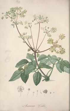 Anamenia coriacea - Jardin de la Malmaison / - 1803-1804