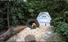 How much wood could woodchuck chuck if a woodchuck could chuck wood? Shubenacadie Sam Cam!