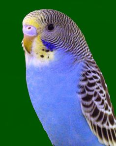 Parakeet I miss Frick and Frack,  one was yellow the other blue...they were so cute...
