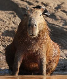 """""""Hmmm - this one seems to be clean....hold still now...almost done...""""  A shiny cowbird inspects a capybara along the muddy banks of the Tambopata River, Peru. The capybara are quite tolerant of the birds, as they help remove insects and parasites from their skin."""