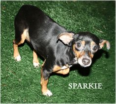 #WASHINGTON ~Sparkie is a Miniature Pinscher / Chi mix & another nice girl !  She's friendly, gets along great with the other dog sharing her kennel & is in need of a loving #adopter / #rescue at SOUTH PACIFIC COUNTY HUMANE SOCIETY  330 2nd St NE  #LongBeach WA 98631  humane@reachone.com  Ph 360-642-1180