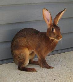 European Rabbit hare | Photos Provided byWhitney of Imagination Rabbitry
