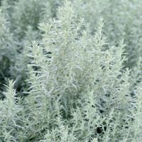 Artemisia Ludoviciana, Western Mugwort, White Sage, Silver Wormwood, Louisiana S… Herbaceous Perennials, Flowers Perennials, Growing Ginger Indoors, Growing Spinach, Sage Plant, Plant Breeding, Plant Diseases, Powdery Mildew, Foliage Plants