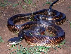 Black Rat, Rat Snake, Information About Birds, Reptiles And Amphibians, Fauna, Zoology, Rats, Snakes, Animals