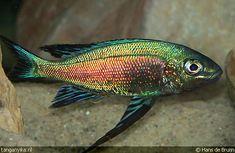 Lake Tanganyika - Cyathopharynx furcifer Tropical Freshwater Fish, Tropical Fish Aquarium, Freshwater Aquarium Fish, Coral Reef Animals, Colorful Animals, Colorful Fish, Lake Tanganyika, African Cichlids, Beautiful Fish