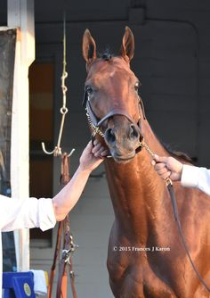 If he were human I'd say American Pharoah looked comically surprised to see a crowd at his barn yesterday PM.