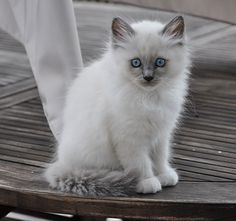 chaton sacré de birmanie blue point