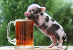 Teacup Pigs Pictures, Check out 25 amazing pictures of these beautiful micro pigs, pocket pigs, and miniature pigs. These guys are so amazingly awesome! Cute Little Animals, Little Pigs, Cute Funny Animals, Cute Baby Pigs, Cute Piglets, Tiny Pigs, Pet Pigs, Dwarf Pig, Funny Pig Pictures