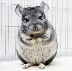 Chinchilla: Although chinchillas are essentially just large squirrels, they are awesome South American large squirrels with amazingly soft fur.