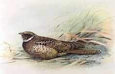 Jamaican Poorwill.png