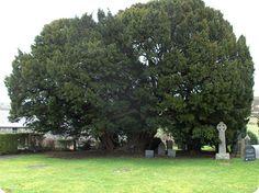 Llangernyw (Tejo) En Gales se encuentra otro de los árboles más antiguo, es un tejo común que tiene una edad de entre 3000 y 4000 años, y está ubicado en el pueblo de Llangernyw. Los tejos ya son longevos de por sí, porque los nuevos brotes o retoños que parten del tronco terminan fusionándose con él. A veces el tronco principal muere, pero el árbol en sí continúa viviendo a través de esos retoños fusionados.