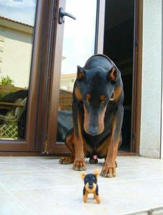 #Doberman and tiny toy dog                                                                                                                                                      More
