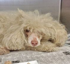On Friday, the Facebook page, Saving Carson Shelter Dogs, introduced their followers to a rather disheveled looking poodle who had just arrived to the Los Angeles County Animal Care and Control facili