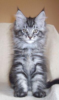 silver blue tabby maine coon kitten rockoon