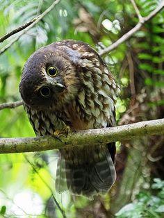 The Strigiform - Morepork (Ninox novaeseelandiae) by digitaltrails Beautiful Owl, Animals Beautiful, Bird Tattoo Sleeves, Blue Butterfly Wallpaper, Circle Painting, Embroidered Bird, Forest Creatures, Kiwiana, Owl Bird