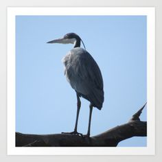 Great Blue Heron with a bird's...