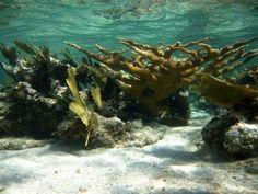 Los corales del Caribe pueden desaparecer en dos décadas