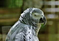 Funny Birds, Cute Birds, Pretty Birds, Beautiful Birds, Baby Bird Food, Rainforest Biome, African Grey Parrot, Bird Pictures, Biomes